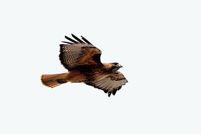 Red Tail Hawk Digital Art - Wings Wide Open by Don Mann
