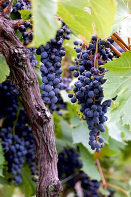 Grapes Photograph - Wining Bunch by LeeAnn McLaneGoetz McLaneGoetzStudioLLCcom