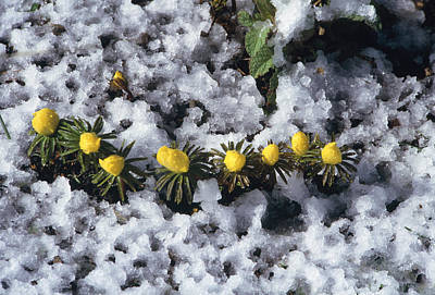 Slushy Photograph - Winter Aconite (eranthis Cilicica) by Archie Young