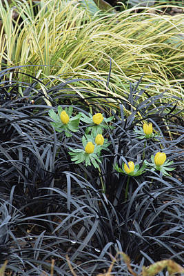 Calamus Photograph - Winter Aconite (eranthis Hyemalis) by Archie Young