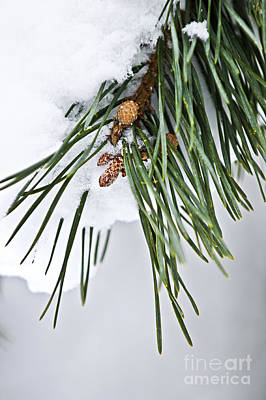 Pine Needles Photograph - Winter Branches by Elena Elisseeva