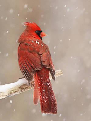 Winter Storm Photograph - Winter Cardinal  by Mircea Costina Photography