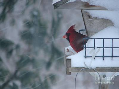 Winter Cardinal Art Print by Ronald Tseng