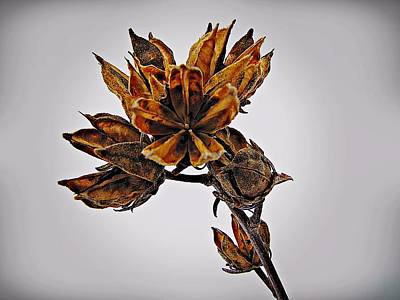 Rose Of Sharon Photograph - Winter Dormant Rose Of Sharon by David Dehner