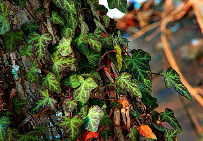 Art Print featuring the photograph Winter Ivy by Mike Flynn
