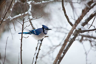 Photograph - Winter Jay by Karol Livote