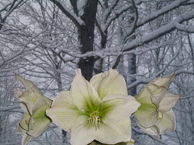 Photograph - Winter Lilies by Ted Kitchen