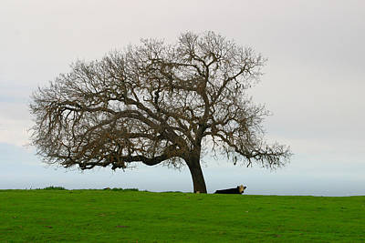 Photograph - Winter Oak With Relaxing Cattle On Foggy Day by C Ribet