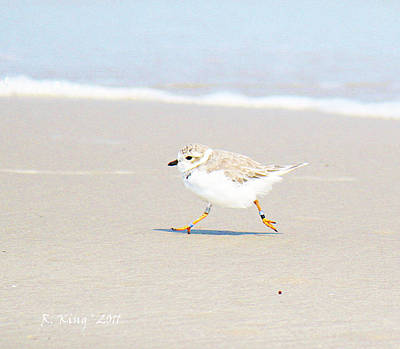 Photograph - Winter Piping Plover Banded by Roena King