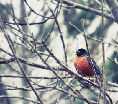 Art Print featuring the photograph Winter Robin by Robin Dickinson
