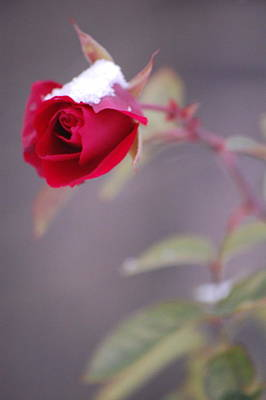 Winter Rose Art Print by Dickon Thompson