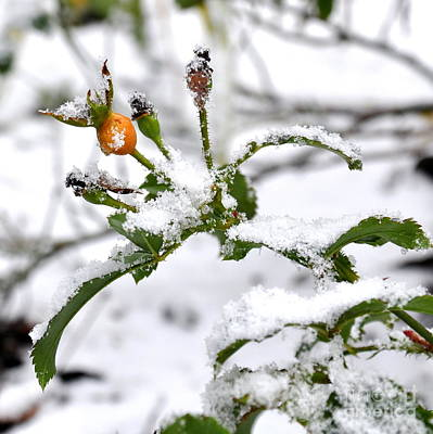 Snow Photograph - Winter Rose Hips by Tanya  Searcy