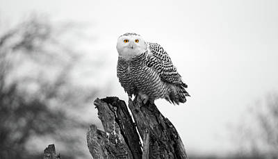 Photograph - Winter Snowy Owls by Pierre Leclerc Photography