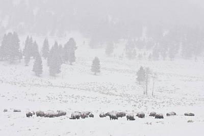 Buffalo Extinction Photograph - Winter Storm by D Robert Franz