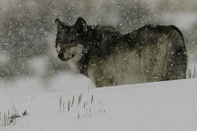 Winter Wolf #1 Art Print by Kenneth McElroy