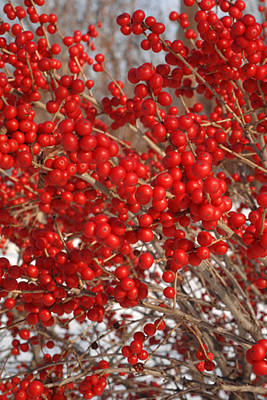 Winterberries Art Print