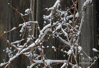 Photograph - Wintry Vines by JT Lewis