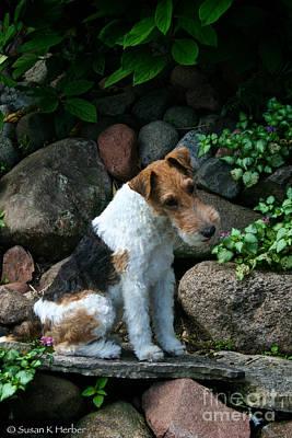 Photograph - Wirehair Fox Terrier by Susan Herber