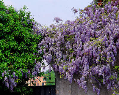 Wisteria In Bloom Photograph - Wisteria And Gate In Verona Italy by Greg Matchick