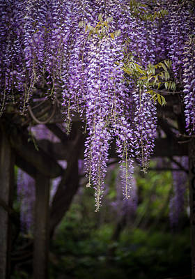 Wisteria Photograph - Wisteria Droplets by Mike Reid