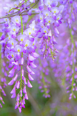 Wisteria In Bloom Photograph - Wisteria Flowers In Bloom by Natalia Ganelin