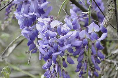 Photograph - Wisteria by Helen Haw