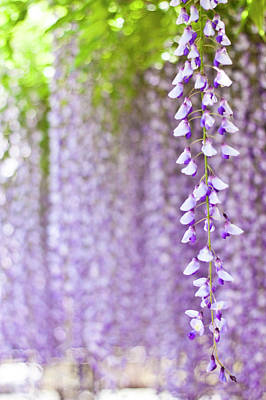 Focus On Foreground Photograph - Wisteria by Yoshika Sakai