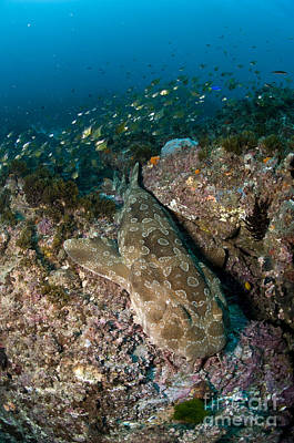 Photograph - Wobbegong Shark And Cardinalfish, Byron by Mathieu Meur