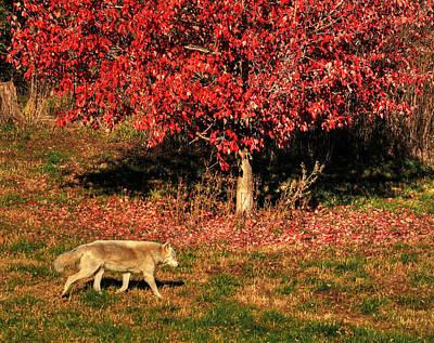 Photograph - Wolf And The Red Tree by Coby Cooper