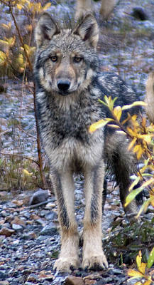 Wolf Cub In Denali Art Print by Jim and Kim Shivers