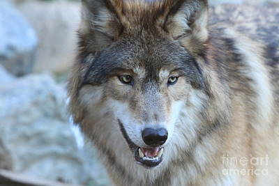 Photograph - Wolf by Kate Purdy