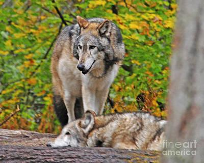 Photograph - Wolf Mates by Jack Moskovita