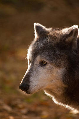 Photograph - Wolf Outlined By The Sun by Karol Livote