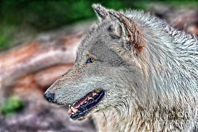 Photograph - Wolf Portrait by Dan Friend