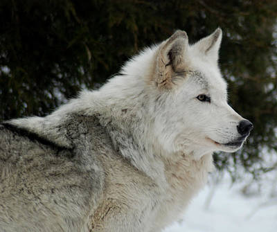 Photograph - Wolf Profile by Richard Bryce and Family