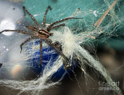 Wolf Spider Eating Print by Art Hill Studios