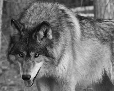 Photograph - Wolf Stare by Kate Purdy