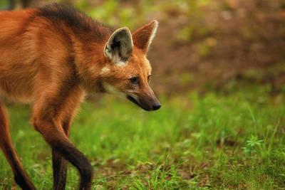 Photograph - Wolf Strut by Karol Livote