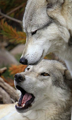 Photograph - Wolf Talk by Steve McKinzie