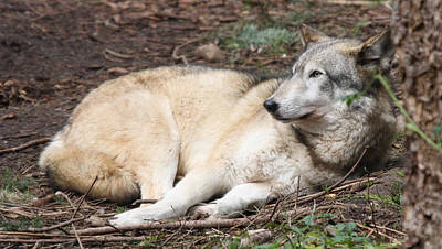 Photograph - Wolves - 0002 by S and S Photo