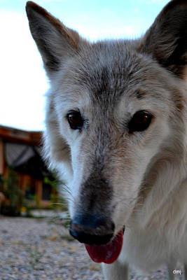 Photograph - wolves V by Diane montana Jansson