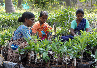 Women Grafting Mango Plants Art Print by Johnson Moya