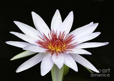 Photograph - Wonderful White Water Lily by Sabrina L Ryan
