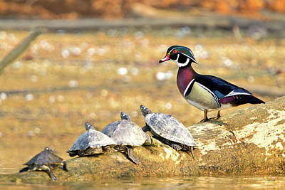 Photograph - Wood Duck And Four Friends by Steven Llorca