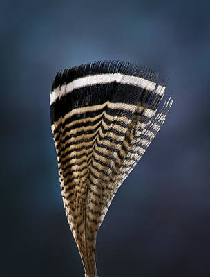 Photograph - Wood Duck Feather by Jean Noren