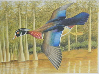 Wood Duck Drawing - Wood Duck Flying by Alan Suliber