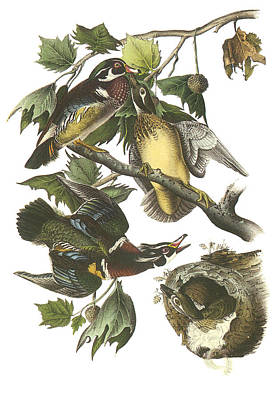 Wood Ducks Painting - Wood Duck by John James Audubon