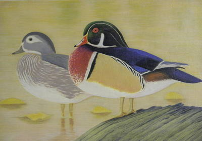 Wood Duck Drawing - Wood Duck Pair Lakeside by Alan Suliber