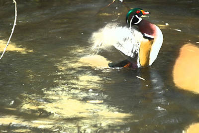 Wood Duck Playing In Pond Art Print by Richard Adams