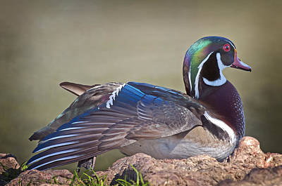 Wood Duck Profile Photograph - Wood Duck Profile by Bonnie Barry